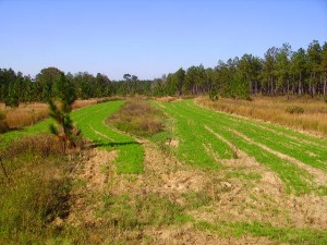 Intergrating deer food plots in quail management.